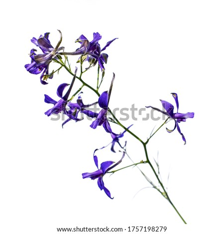 A branch with blue flowers of the consolida regalis isolated on a white background, close-up. Meadow flower known as forking larkspur, rocket-larkspur, and field larkspur #1757198279