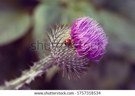 nature flower ladybug thistle flower closeup macro photography