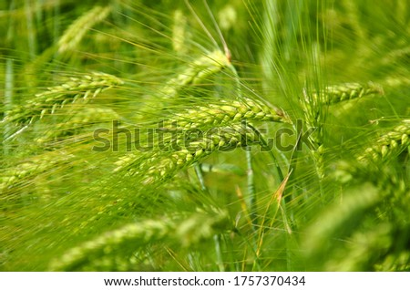 ears of wheat on a wheat field close-up. blurred background #1757370434