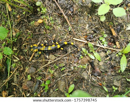 Spotted salamander on a forest path (salamander)