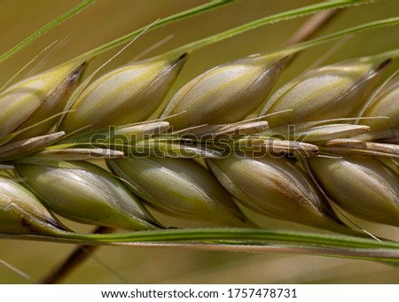 Growing barley.Barley plant, green barley spike.Barley yet unripe spike. #1757478731