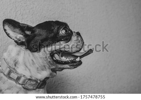 cute french bulldog on a black and white pic