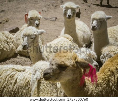 Group of Alpacas and Llamas looking people while they are taken pictures by tourists that come to Colca Canyon