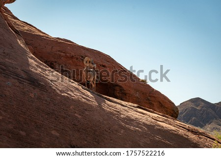 Bighorn sheep standing up on a red rock. #1757522216