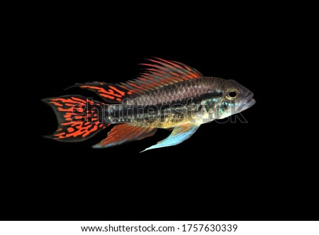 The colorful of cockatoo dwarf cichlid on isolated black background. Apistogramma cacatuoides is a South American cichlid in the family Cichlidae.