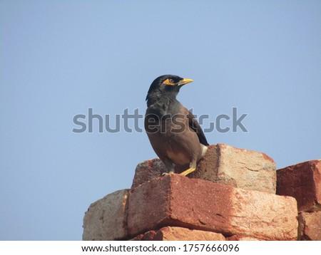 Indian bird common myna pic