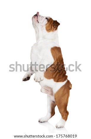 english bulldog dancing #175768019