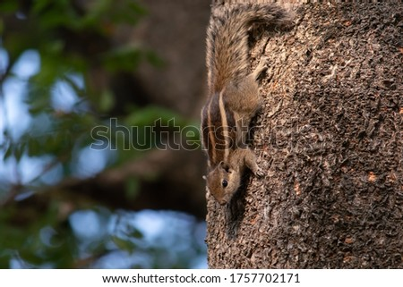 Indian Palm Squirrel or Three Striped Palm Squirrel on a Tree With Selective Focus