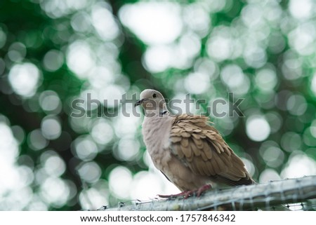 Picture of Spotted dove perched on a fence in an area with many trees.