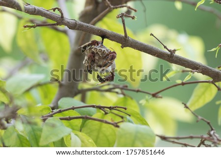hornet is a poisonous insect. hornet are two pairs of wings, creating a strange, beautiful nest.