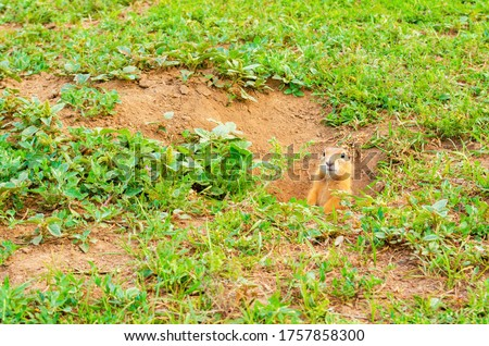 Cute fluffy gopher peeps out of hole in the ground on green field with grass on sunny evening. Suslik in natural wildlife in the meadow. Small adorable gopher closeup. Summer sunny weather.