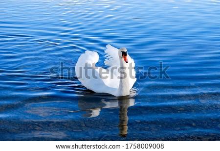 White swan in lake water. Swan in water. White swan portrait. White swan in nature #1758009008