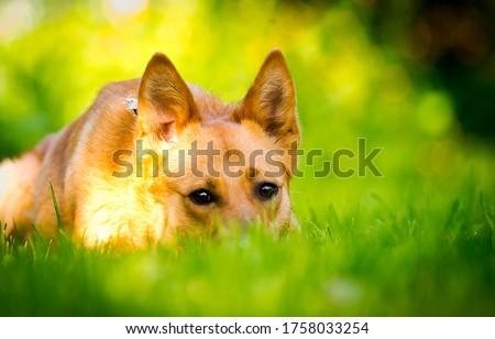 Shepherd dog in green grass. Shepherd dog eyes. Shepherd dog looking #1758033254
