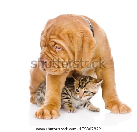 Bordeaux puppy dog and bengal kitten together. isolated on white background #175807829