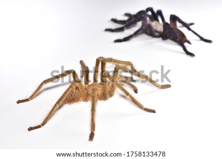 Closeup picture of mature couple of Singapore blue tarantula spider (Omothymus / Lampropelma violaceopes) with male in focus - representing a nice example of sexual dichromatism