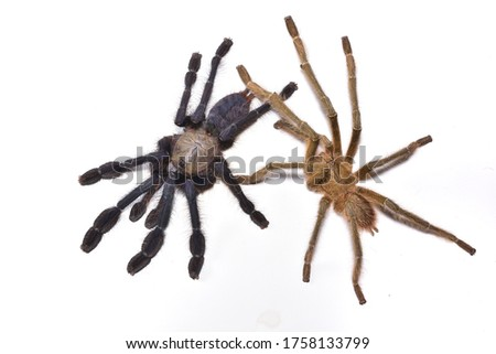 Closeup picture of mature couple of Singapore blue tarantula spider (Omothymus / Lampropelma violaceopes) on white background - representing a nice example of sexual dichromatism