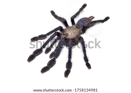 Closeup picture of mature female of Singapore blue tarantula spider (Omothymus / Lampropelma violaceopes) on white background