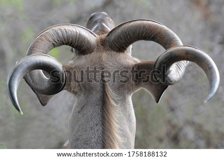 Kudu male head and horns stretching in the Kruger National Park, South Africa Royalty-Free Stock Photo #1758188132