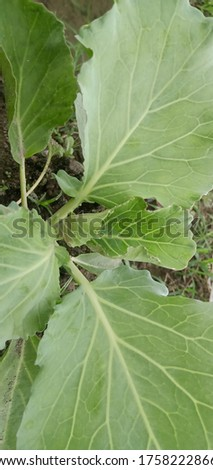Cabbage with natural background at rice fields #1758222866
