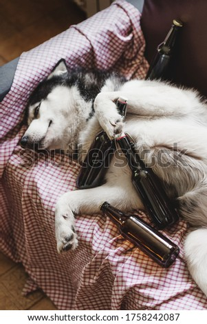 A funny picture of a dog of the Siberian Husky breed which lies on a sofa surrounded by empty beer bottles