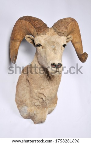 bighorn sheep shoulder mount taxidermy on a white background #1758281696