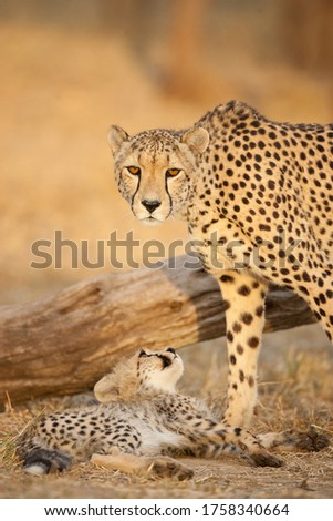 Vertical portrait of adult female cheetah and her baby cheetah cub looking at her mother in golden afternoon light in Kruger Park South Africa #1758340664