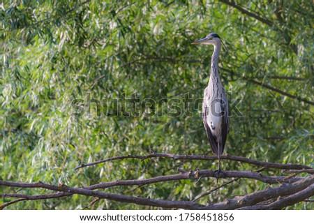 Grey herons standing on an branch - gray herons - european common herons or Ardea cinerea #1758451856