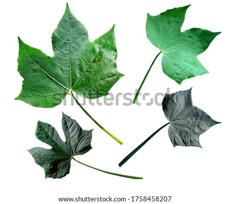 Picture of colorful shapes, young and old leaves of Chaya or tree spinach, Mexican kale, a leafy vegetable. An isolated placed on white background