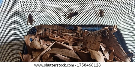 cricket cultivation for bird feed