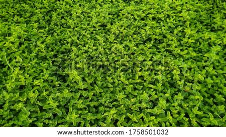 Mint, green mint leaves, fresh and organic mint green leaves plants #1758501032