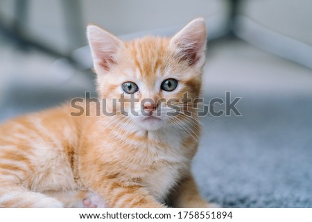 Cute little red cat stay on wooden floor with window on background. Young cute little red kitty. Long haired ginger kitten play at home. Cute funny home pets. Domestic animal and Young kittens Royalty-Free Stock Photo #1758551894