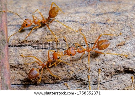 Ant action standing. Red imported fire ant, Action of Formicidae. Work ants are walking on the branches to protect the nest in the forest.