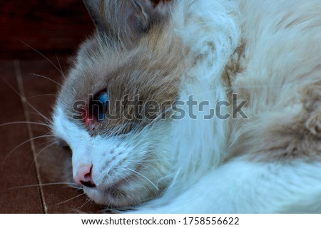 Allergic skin diseases in domestic cats. cat's wound from dermatitis. Skin diseases in cats. Cat pimples. Atypical dermatitis in a domestic cat. Feline Allergies in Cats #1758556622