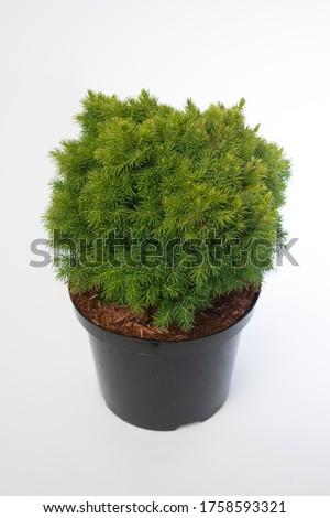 Picea glauca Alberta Globe - outdoor plant