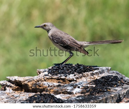 Northern Mockingbird perching on a stump.