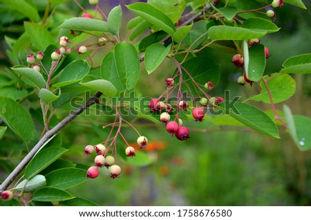 shrub or small tree, also popularly called Native American blueberry. blooms white in May and has red edible fruits #1758676580