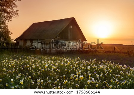 Old rural barn in a field at sunset and flowering wildflowers of field tri-color violets at sunset. Dark photo at sunset twilight. Vintage photo of a rustic house. Ukraine.