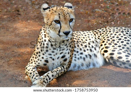 This picture describes of an Animal called Cheetah found from a zoo near my house