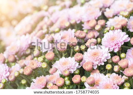 Beautiful close-up natural soft pink peach chrysanthemum flower background. Spring floral blossoming plant pastel colored bakckdrop. Nature garden blooming autumn, summer or spring decor #1758774035