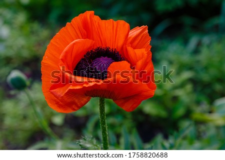 Oriental poppy flower. Papaver orientale is magnificent perennial plant in the garden Royalty-Free Stock Photo #1758820688