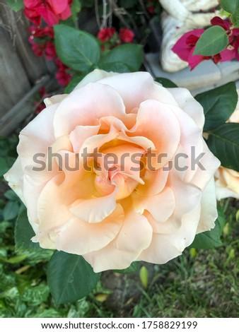 Marilyn Monroe rose bush blooms