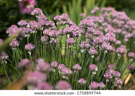 Allium schoenoprasum - bulbous ornamental plant with pink flowers, a plant for decorating urban flower beds #1758899744