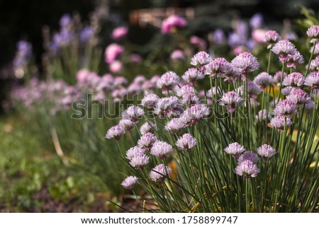 Allium schoenoprasum - bulbous ornamental plant with pink flowers, a plant for decorating urban flower beds #1758899747