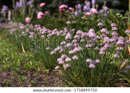 Allium schoenoprasum - bulbous ornamental plant with pink flowers, a plant for decorating urban flower beds #1758899750