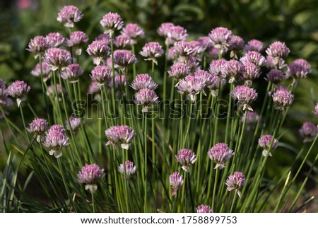 Allium schoenoprasum - bulbous ornamental plant with pink flowers, a plant for decorating urban flower beds #1758899753