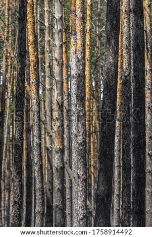 Coniferous forest. Slender trunks of pines. Vertical lines in nature. Pine forest. Wood background. Screensaver on the theme of nature. Parallel lines. Texture of tree bark. Geometry in nature.