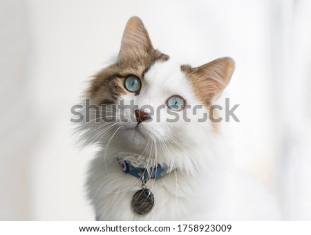 Beautiful cat with blue eyes and white long hair Royalty-Free Stock Photo #1758923009