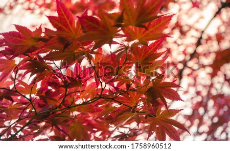 Acer japonicum, the Amur maple, downy Japanese-maple or fullmoon maple, is a species of maple native to Japan.  #1758960512