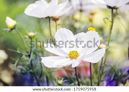 White Cosmos flowers in the garden. Close view. #1759075958