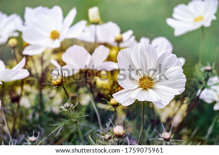 White Cosmos flowers in the garden. Close view. #1759075961
